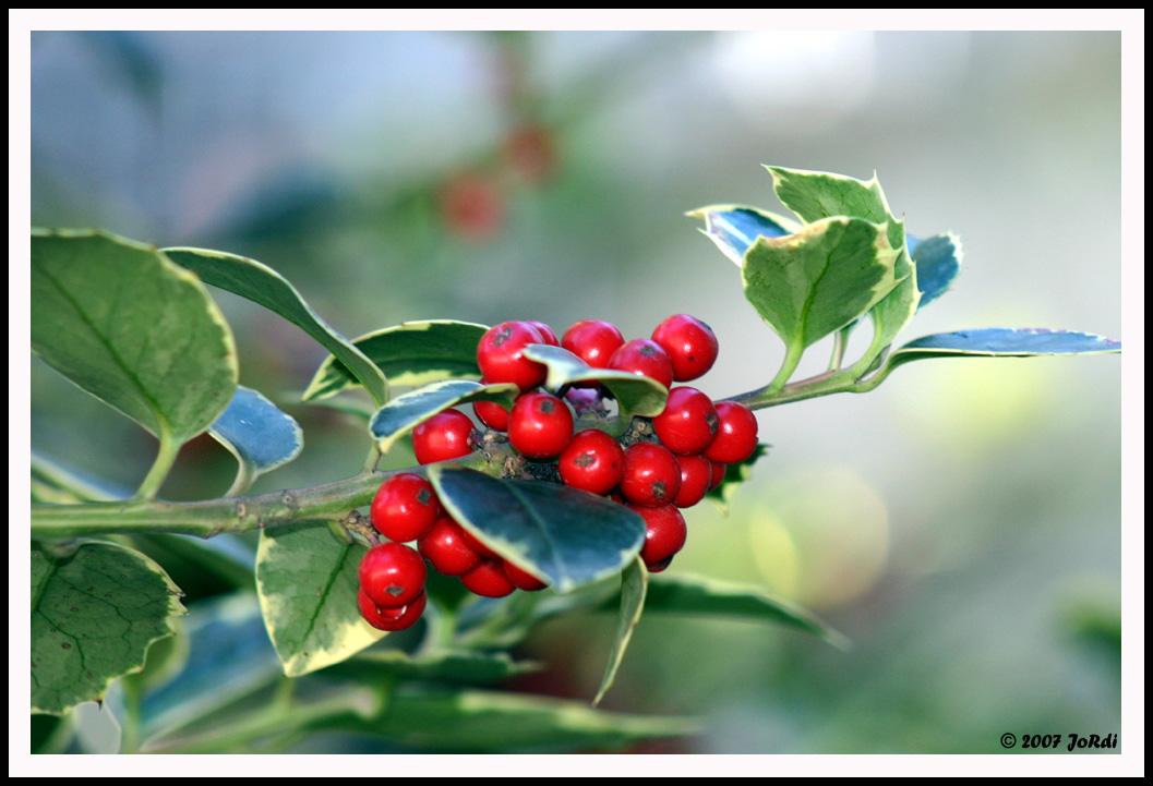 Frutos rojos del acebo rbol navidad for Arbol de frutos rojos pequenos