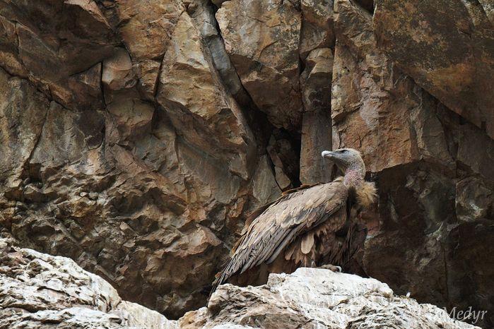 Buitre leonado Monfragüe